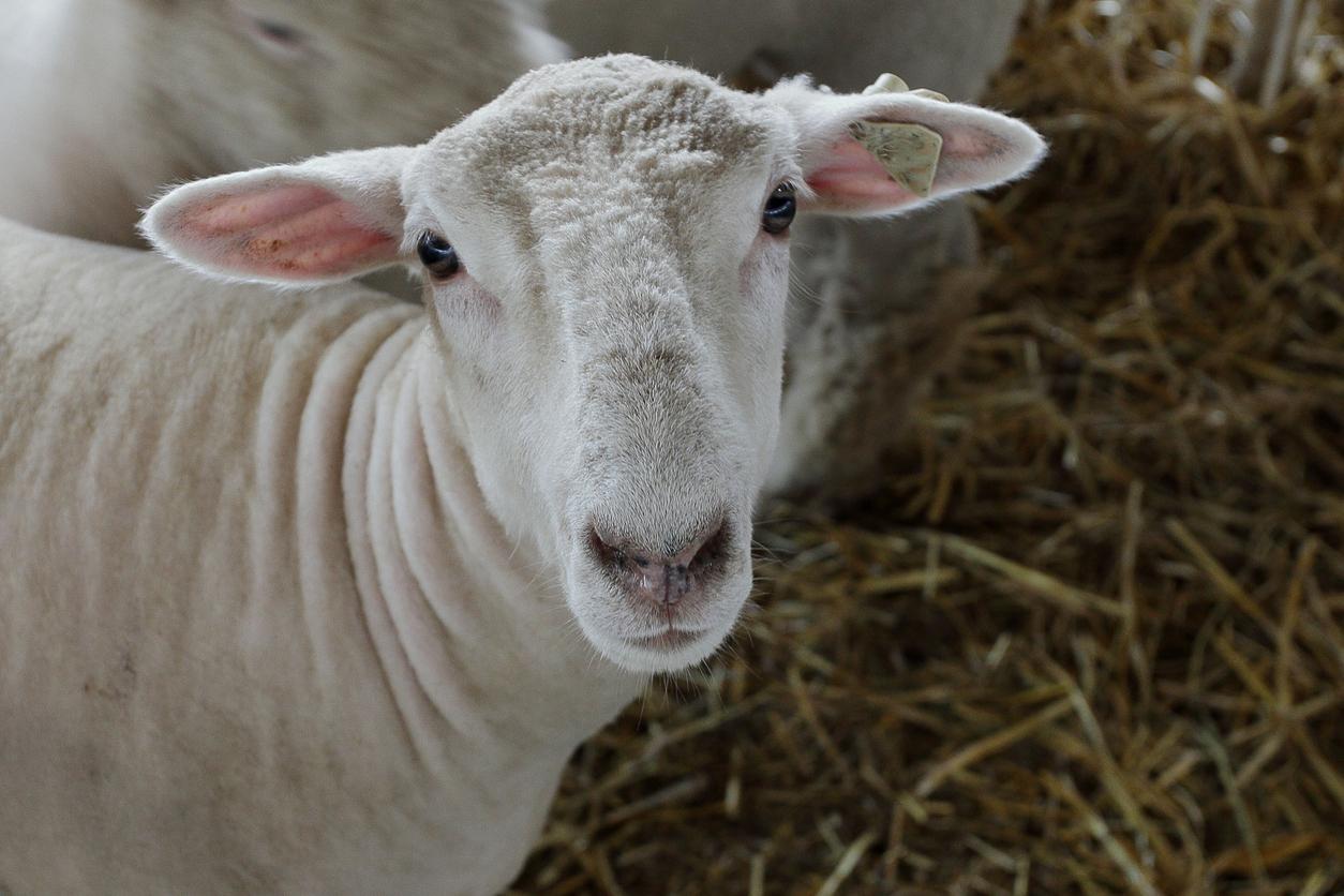 sheep_face.jpg