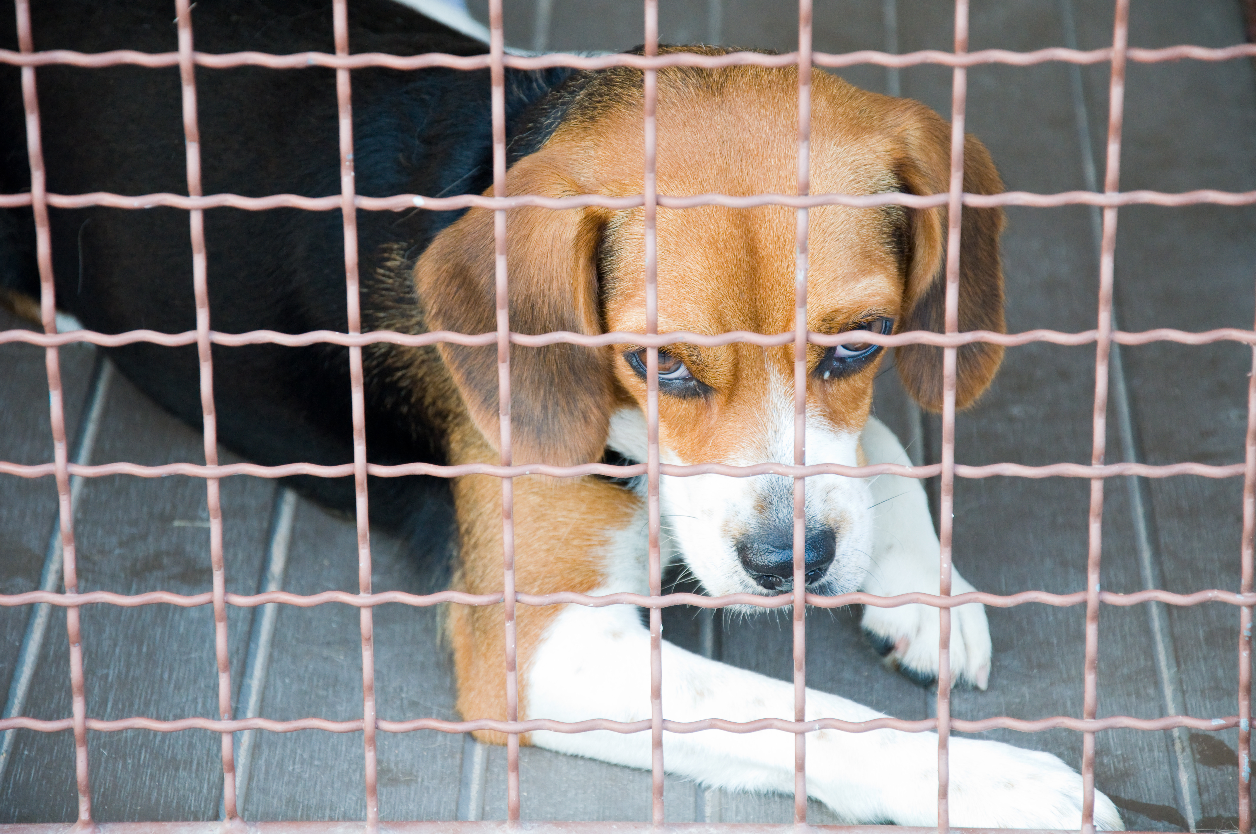 lonely_beagle_in_cage_closeup.jpg