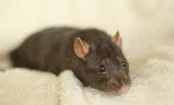 rat_on_fleece_crop.jpg