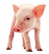 piglet_closeup_crop.jpg