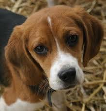 beagle_sad.jpg