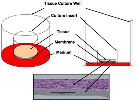Ocular_3D_tissue_IIVS.jpg