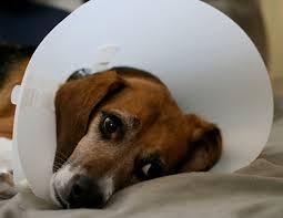 beagle_sad_ecollar.jpg