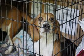 beagles_two_in_cage.jpg