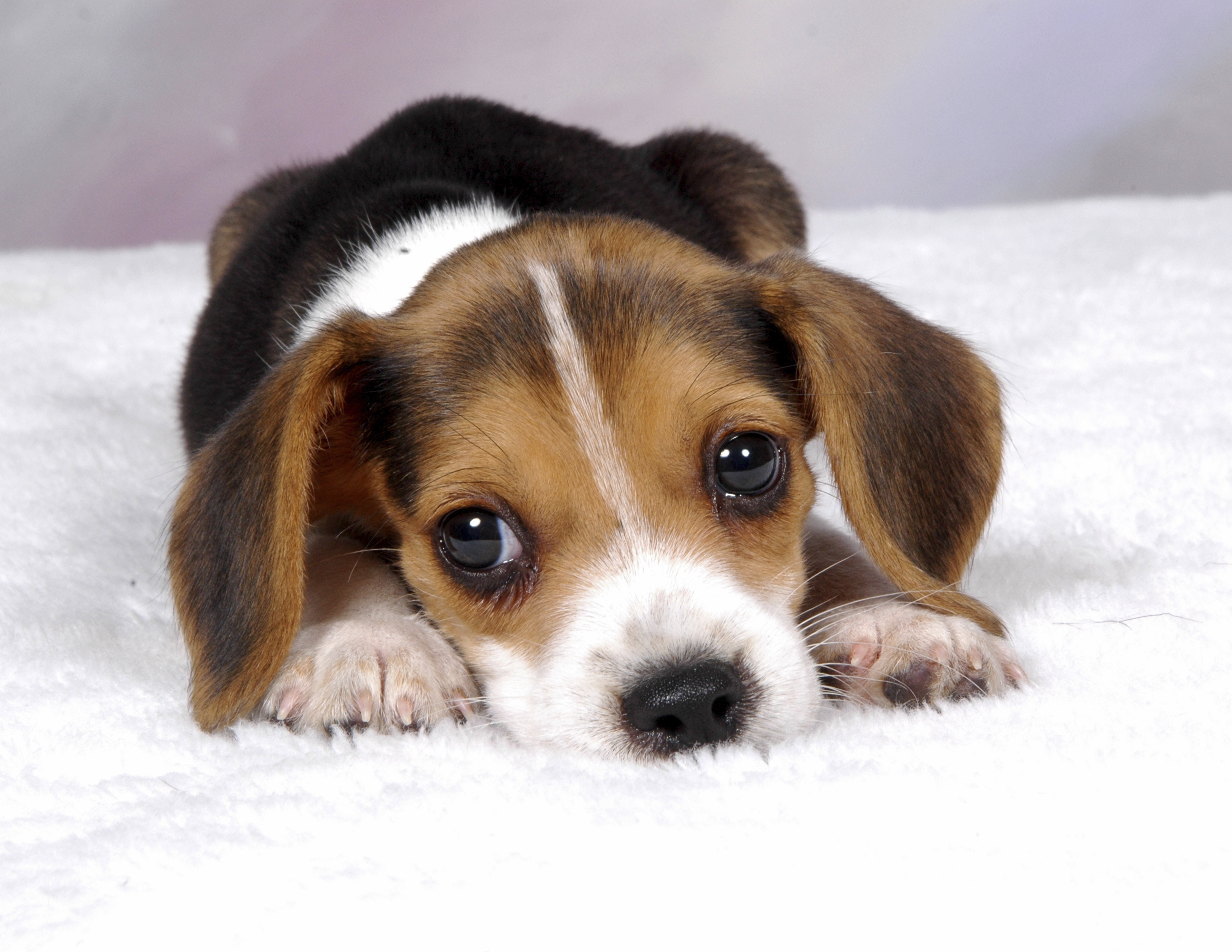 beagle_pup_very_young_sad.jpg