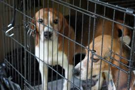two_beagles_in_cage.jpg
