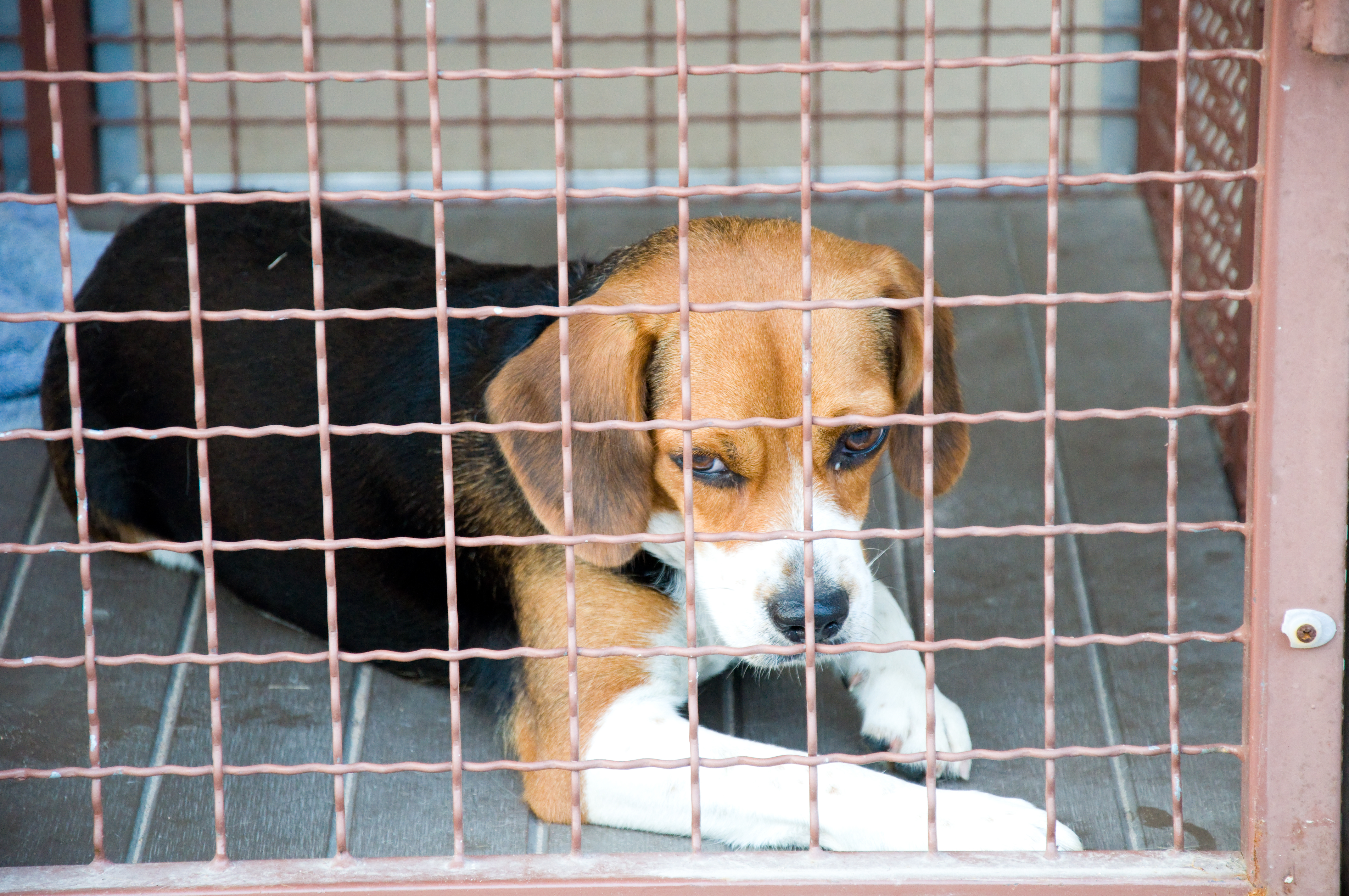 lonely_beagle_in_cage.jpg