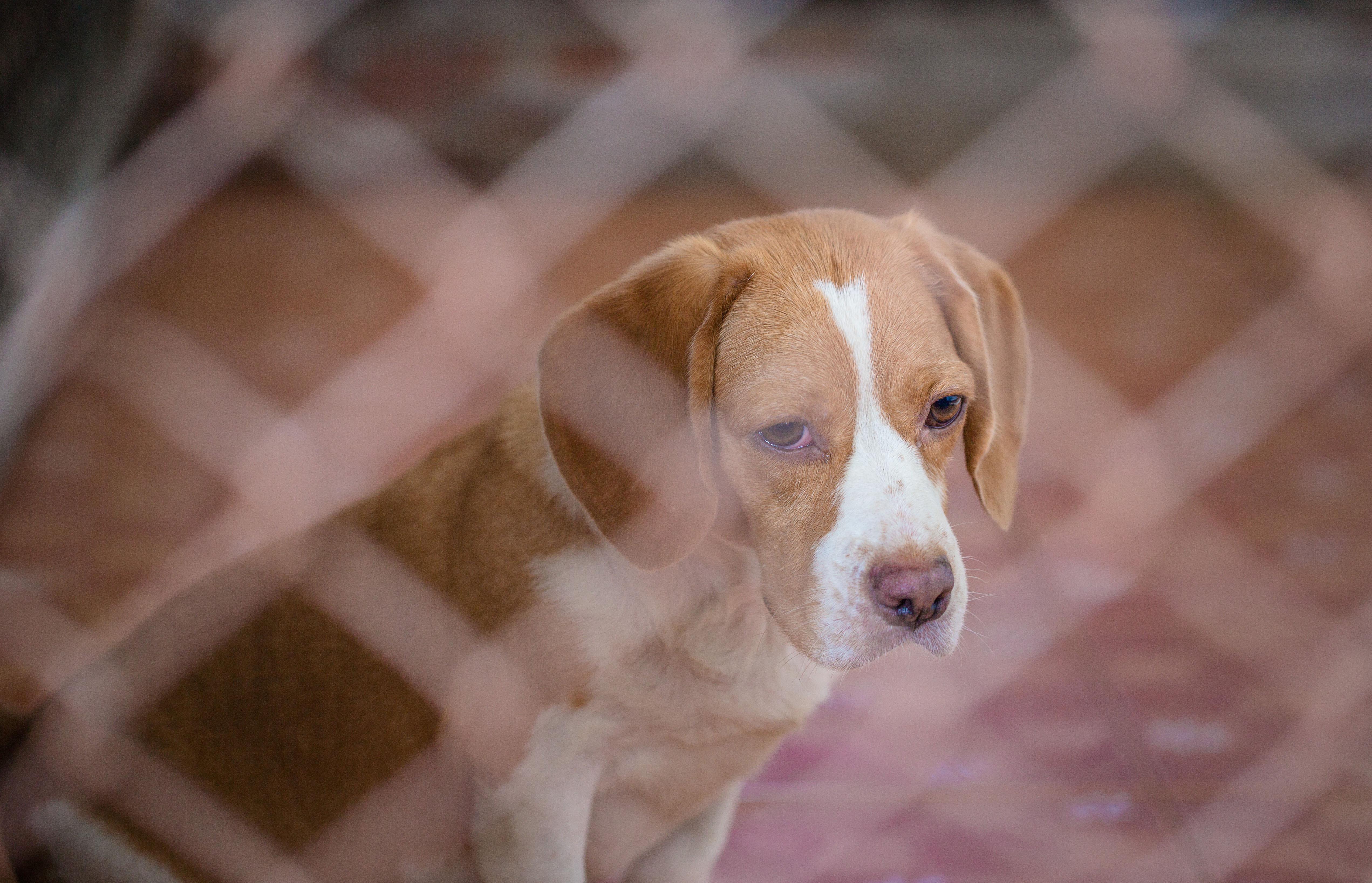 beagle_pink_nose_sad.jpg
