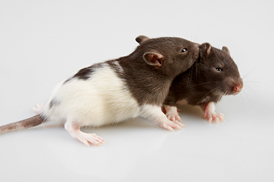 two-rats-snuggling-lg.png