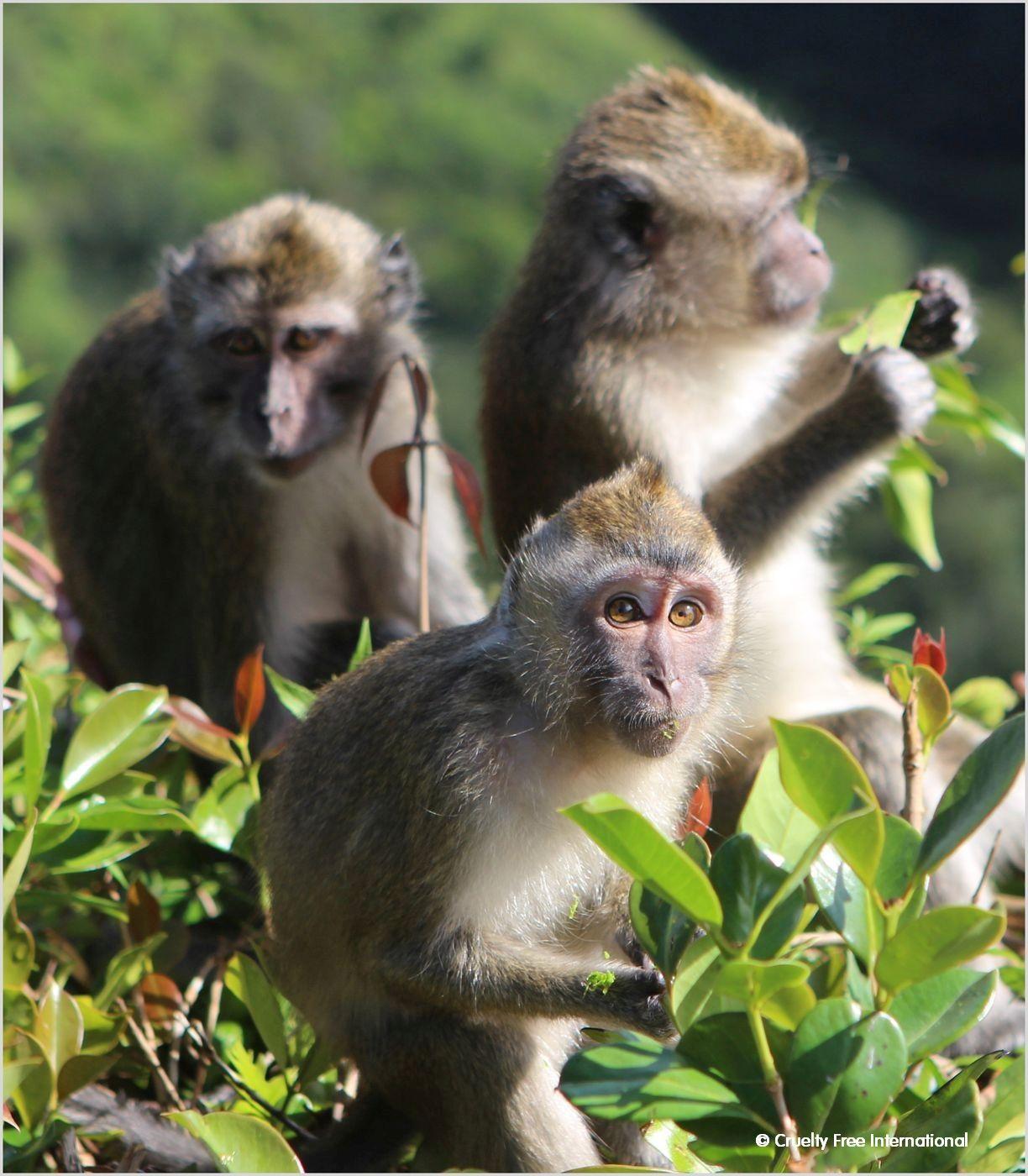 CFI_Mauritius_monkeys_in_field.jpg