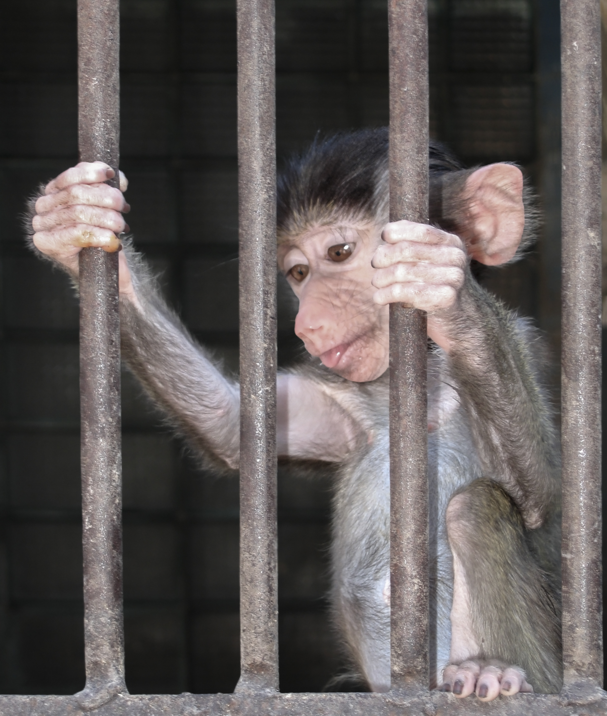 baby_baboon_in_cage.jpg
