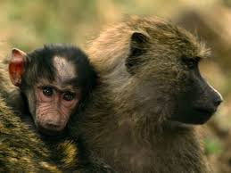 baboon_mom_and_child_closeup.jpg