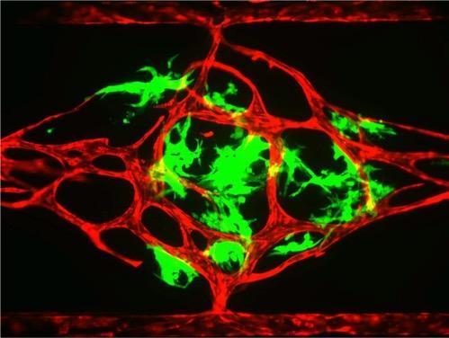 vascular_organ_chip_hughes_lab.jpg