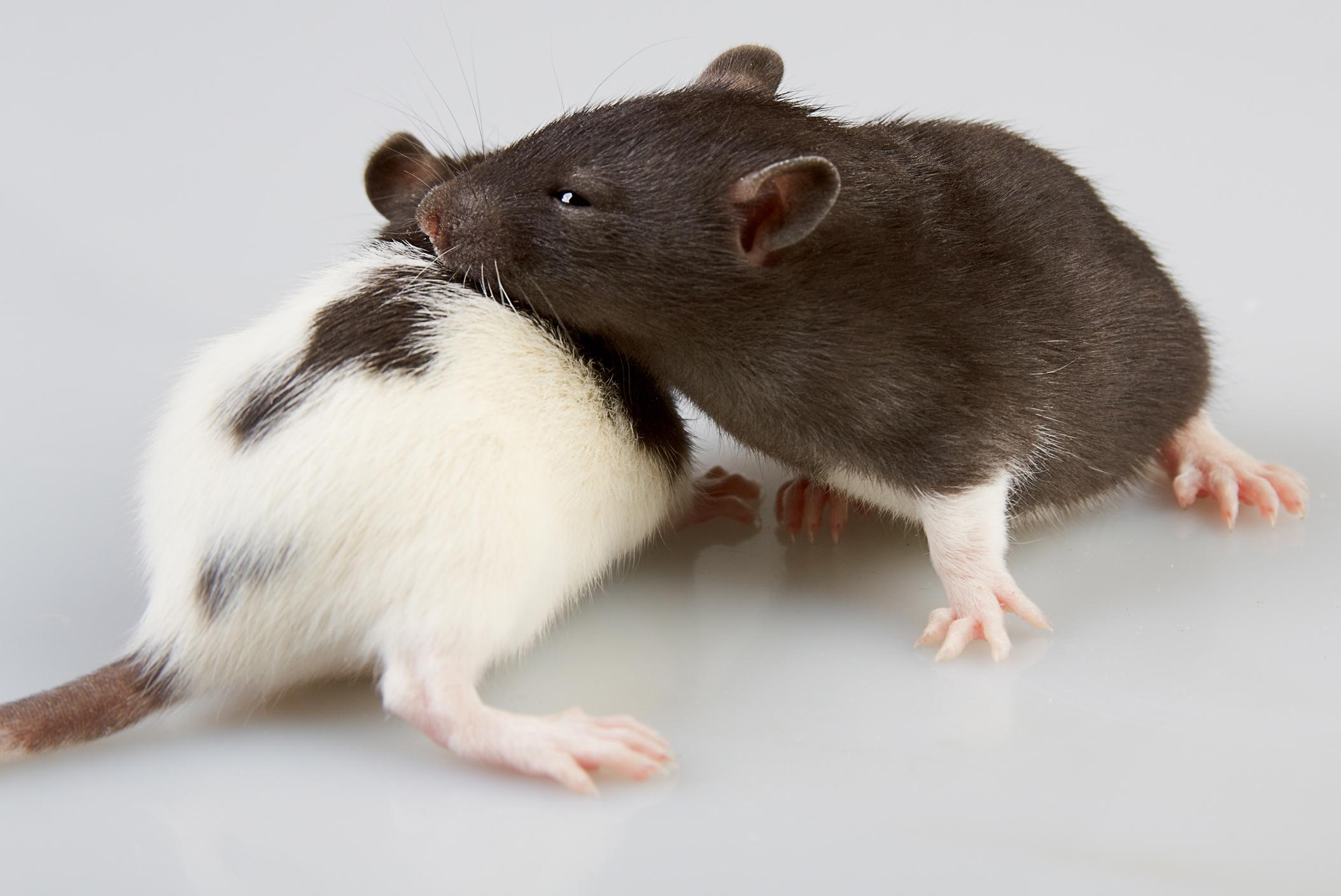 rats_snuggling.jpg