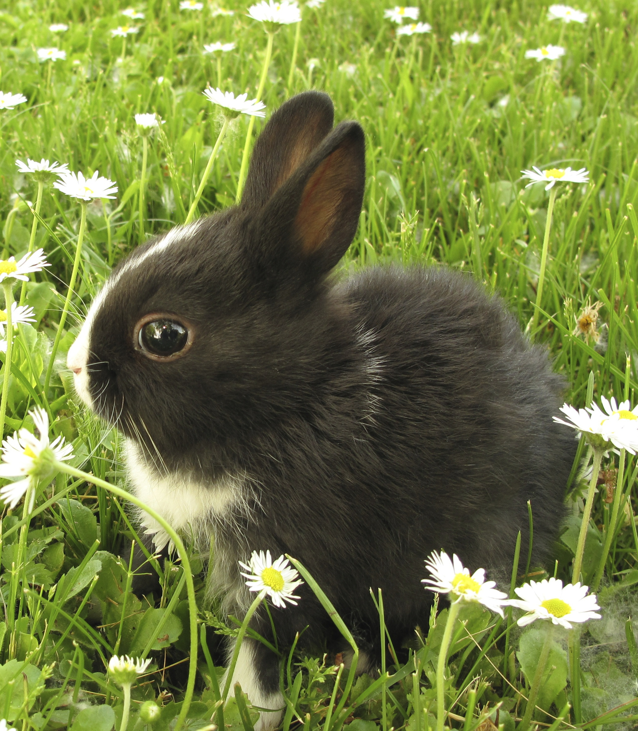 rabbit_black___white_in_grass_cropped.jpg