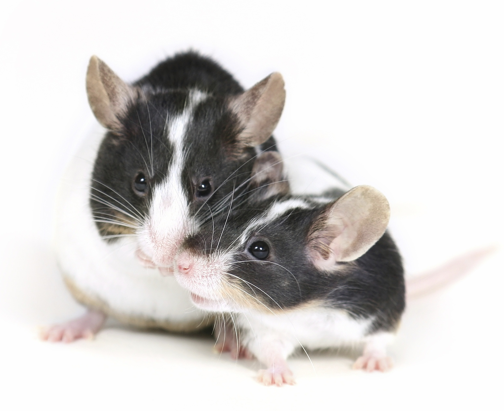 mice_snuggling_cropped.jpg