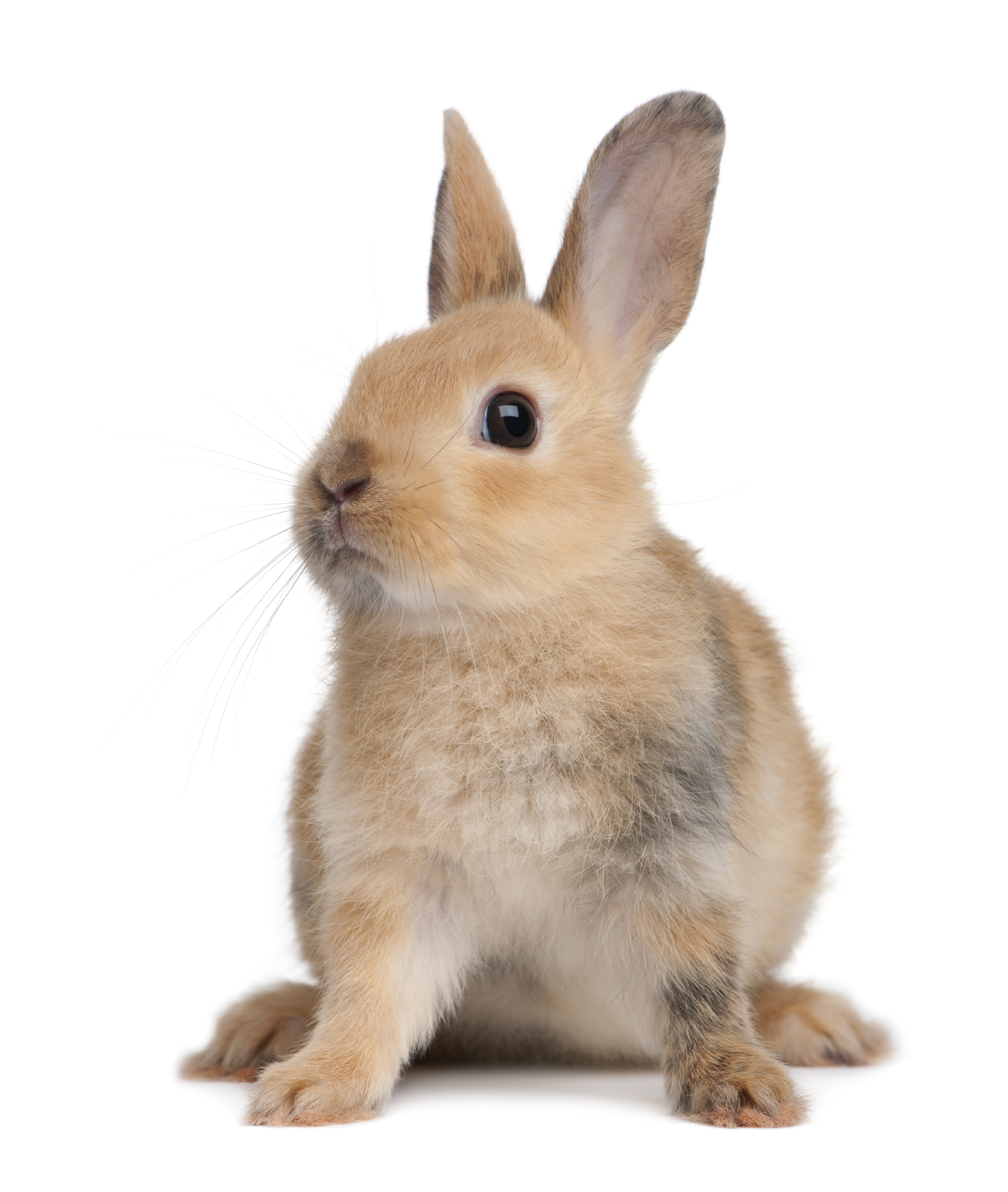 rabbit_light_brown.jpg