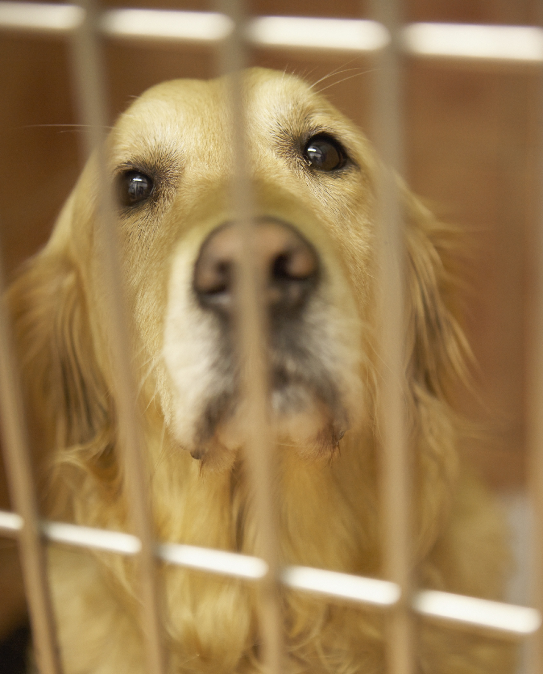 dog_golden_retriever_in_cage_cropped.jpg