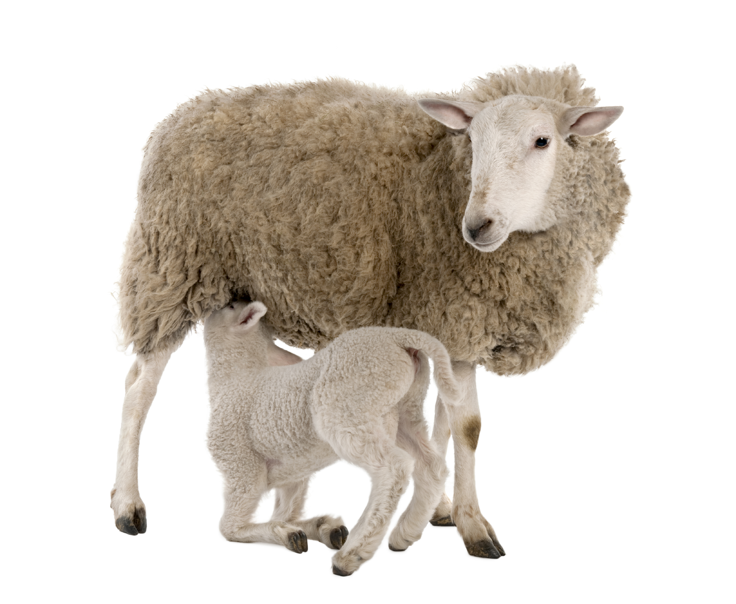 lamb_and_mother.jpg