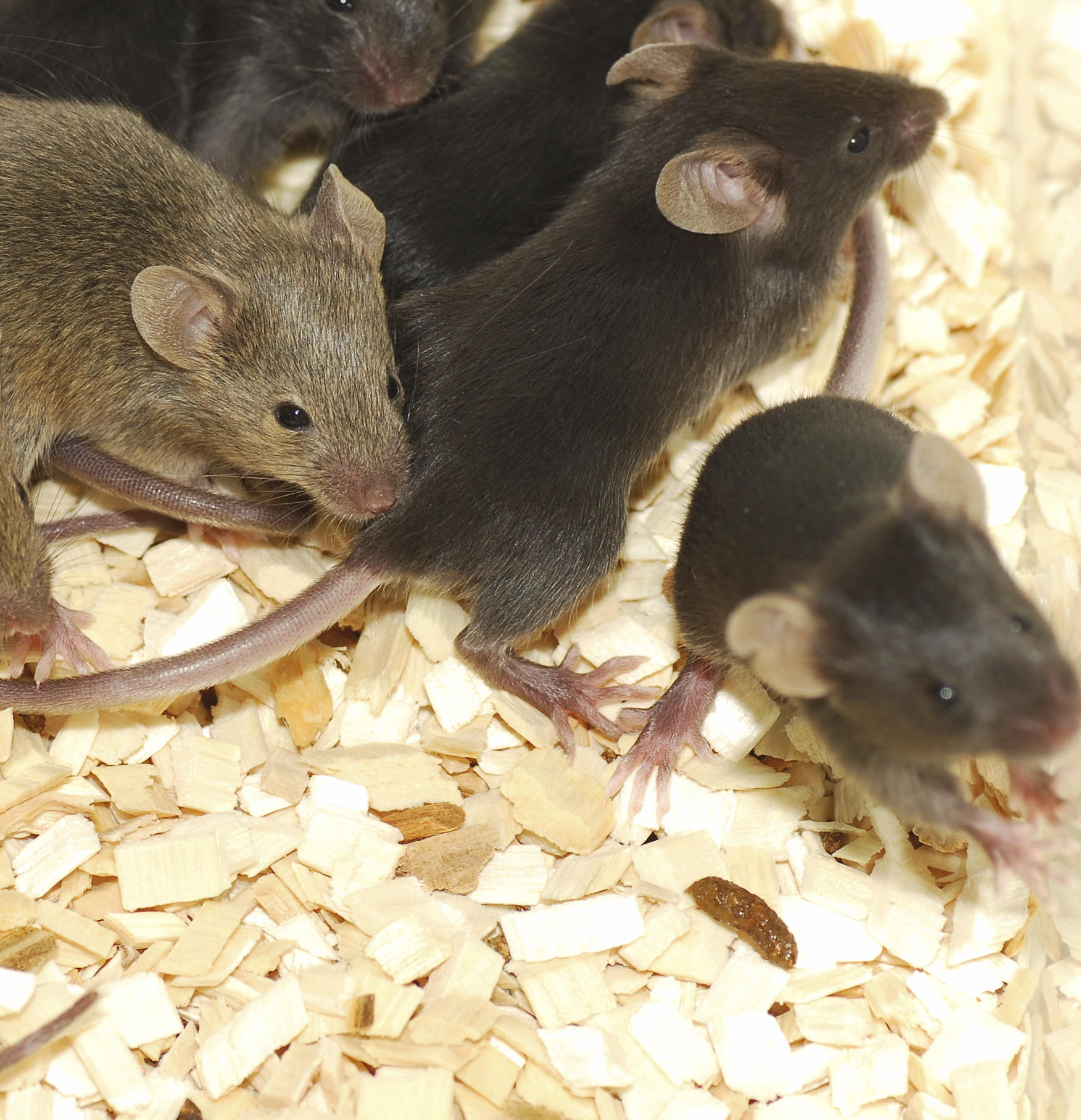 mice_crowded_brown_cropped.jpg