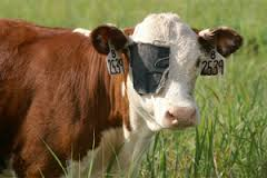 cow_with_ear_tags.jpg