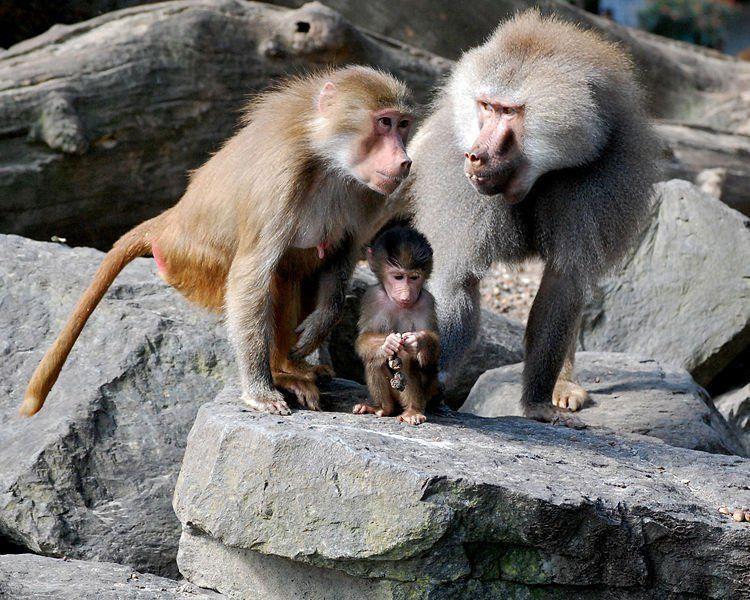 baboon_family.jpg