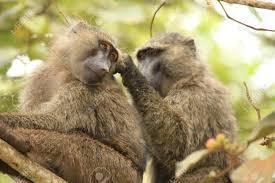 baboons_in_wild.jpg