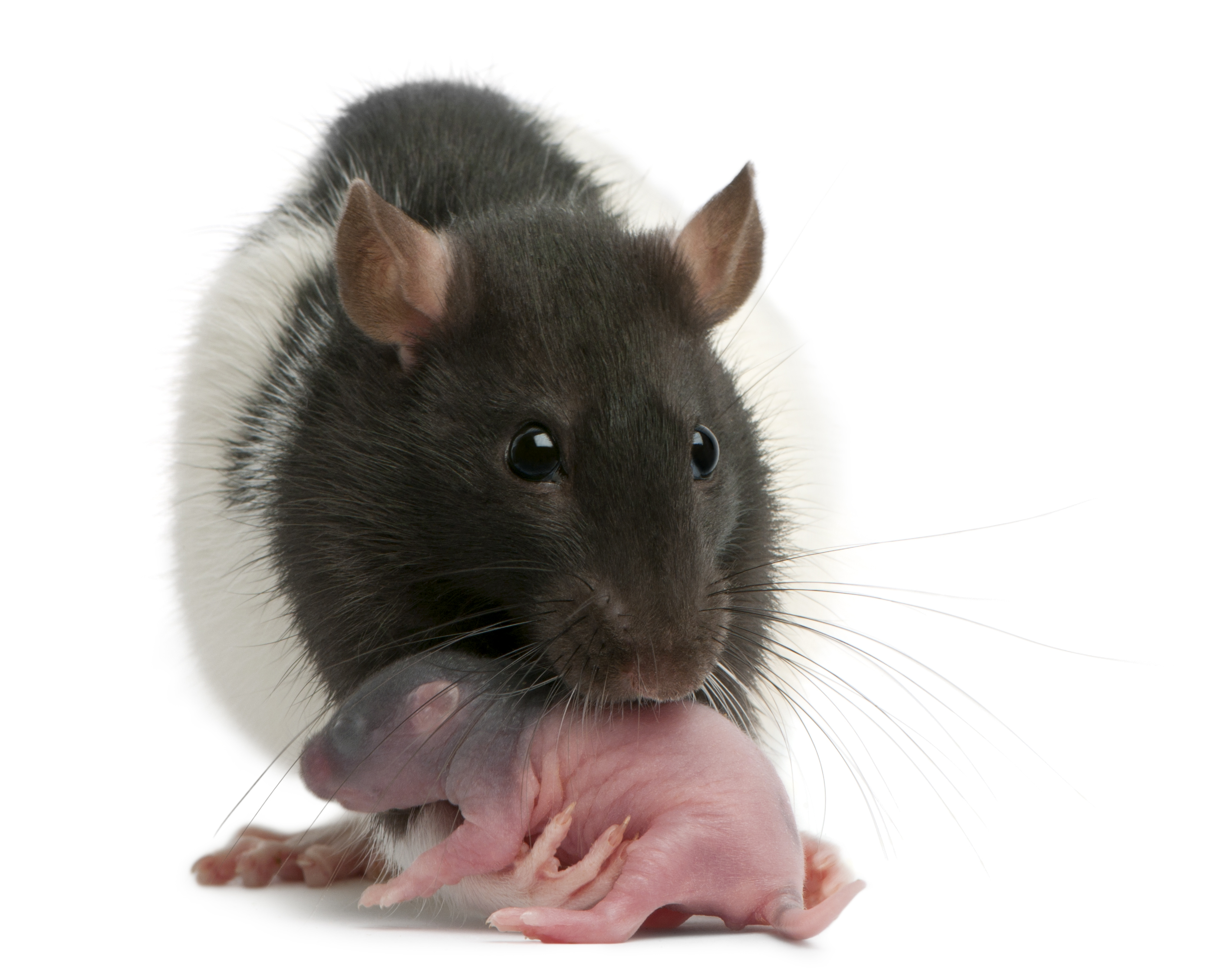rat_mother_with_newborn.jpg