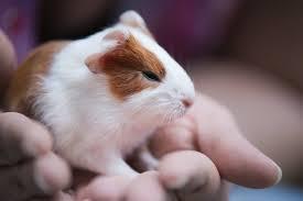 guinea_pig_in_hand.jpg