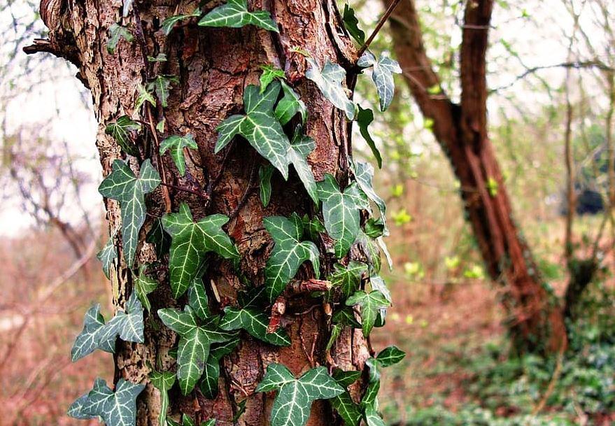 Arbre-lierre-foret-bois-natureparasite-pikist.jpg