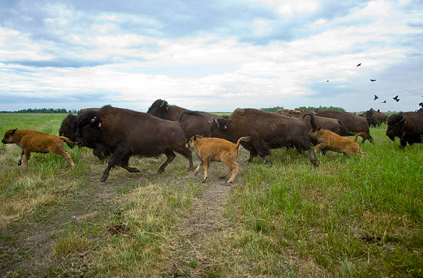 Wood Bison Graze on Oil Sands Reclaimed Land