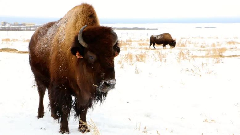 Syncrude - Herd of 300 Bison thrive on reclaimed oil sands land