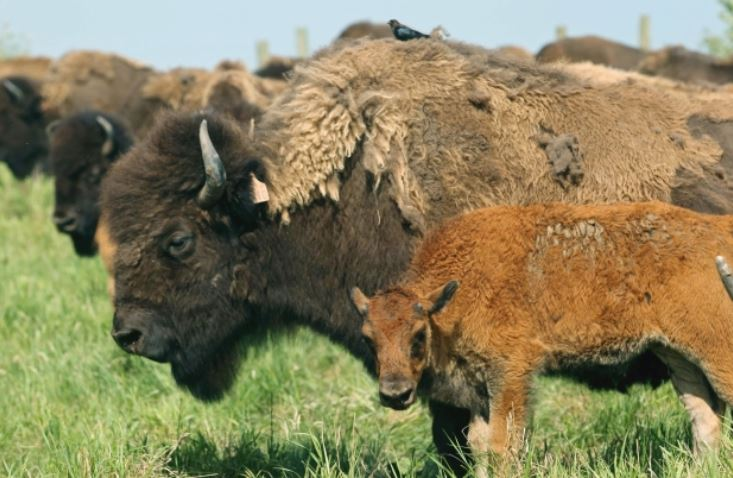 Syncrude - 300 bison, 100 new bison calves thrive on reclaimed oil sands land