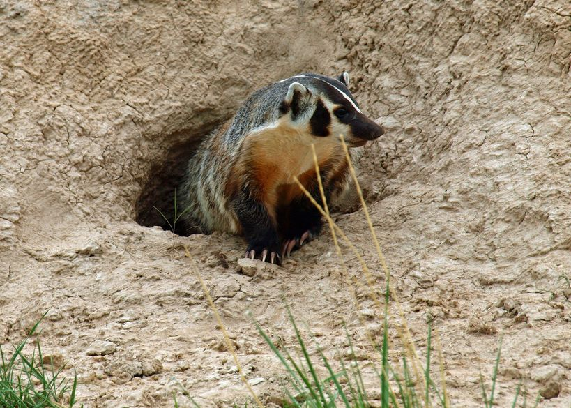 American Badger Protected by Trans Mountain
