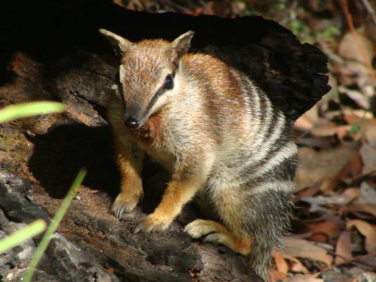 Numbat_near_Warrup_logging_site.jpg