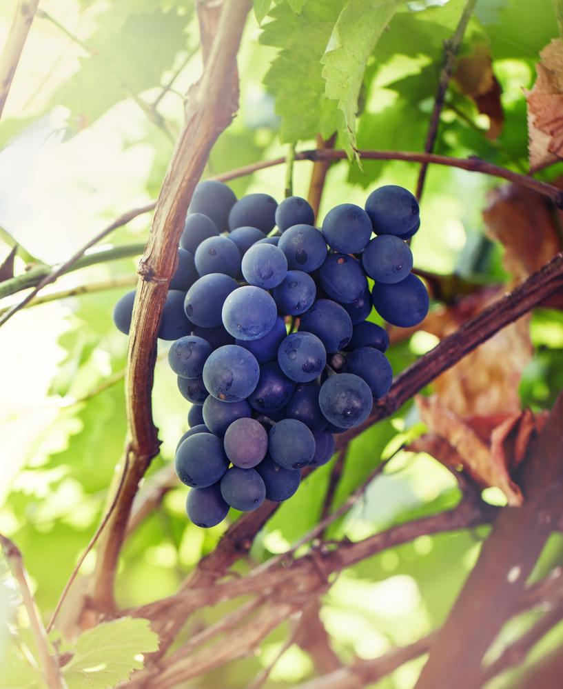 Depositphotos_108796642_m-2015-grapes.jpg