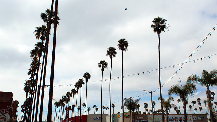 Avalon Palm Trees