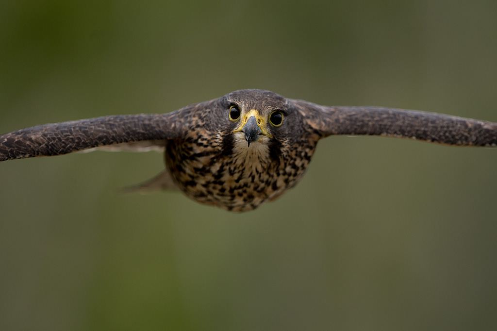 New_Zealand_falcon_(kārearea).jpg