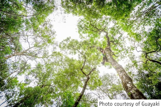 Guayaki_treeclimbing1_courtesy.jpg
