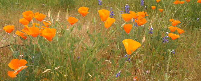 CA_poppies_Flickr_IsolinoFerreira.jpg