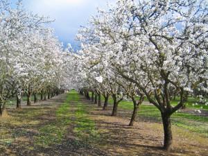almond-orchard-300x225.jpg