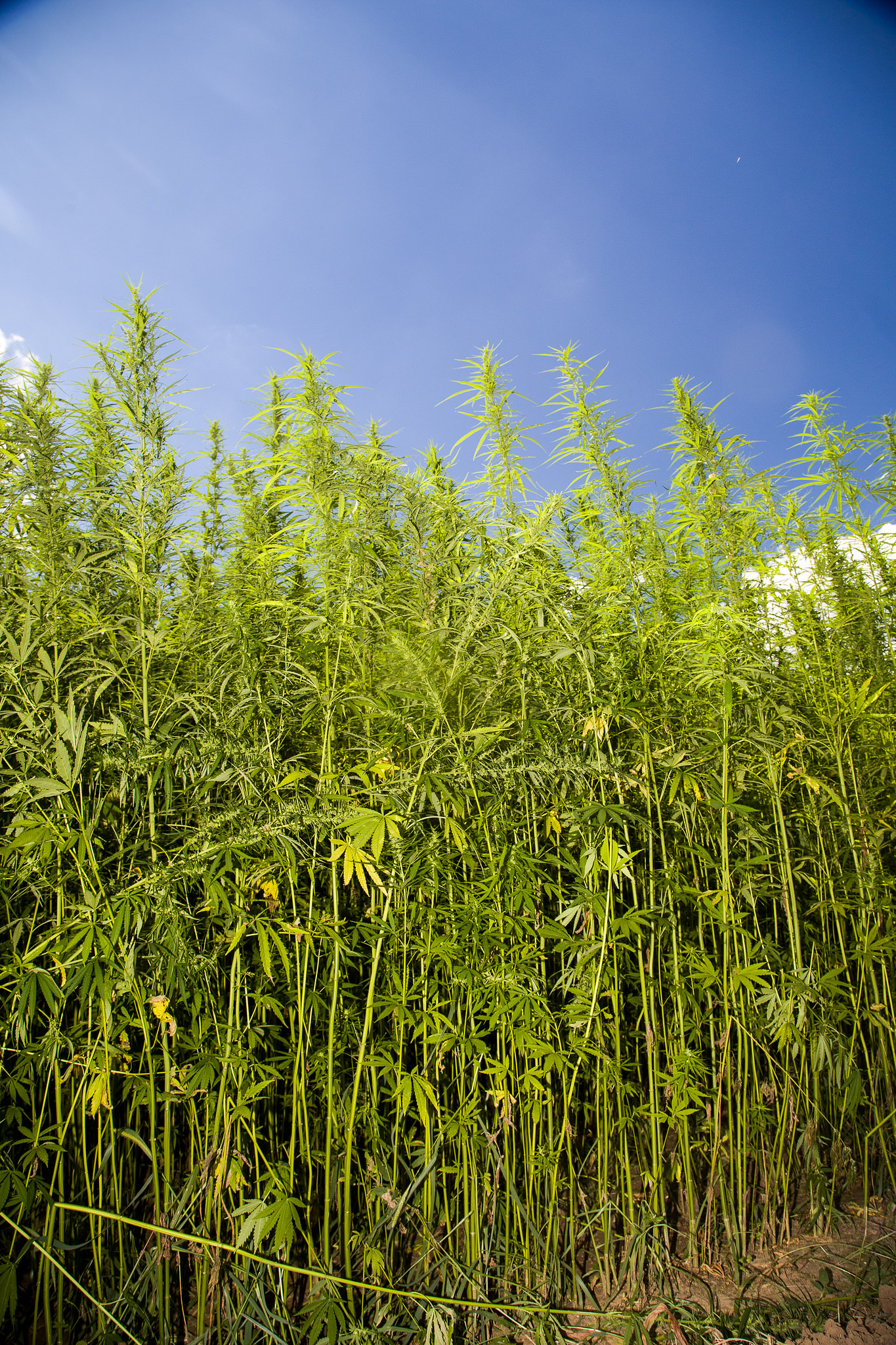hemp_field_kentucky.jpg