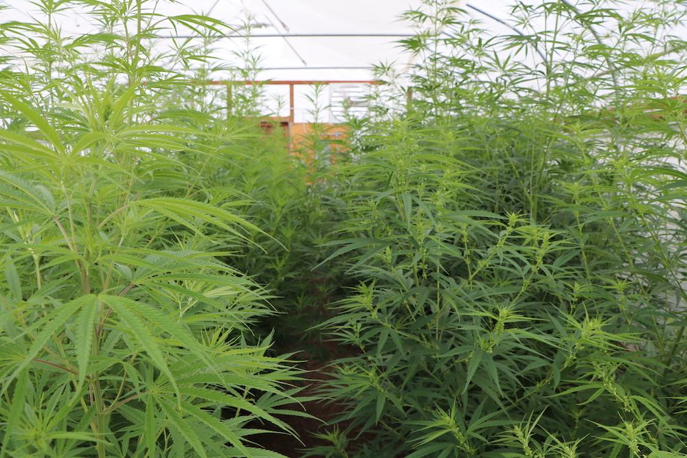 CNG_hemp_homestead_organics.JPG