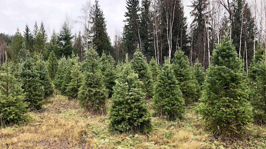 CNGChristmasTrees