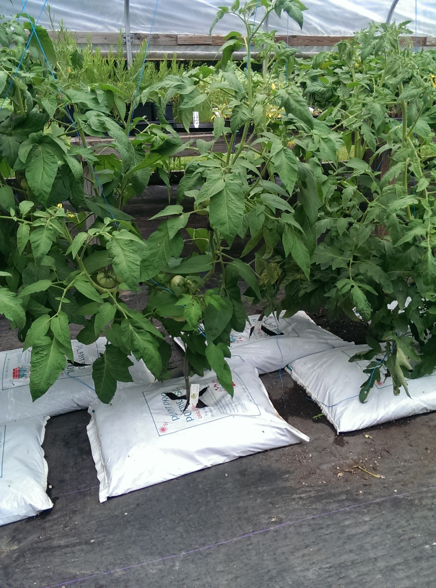 Organic Tomatoes In Organic Soil for Alternative Certified Farms