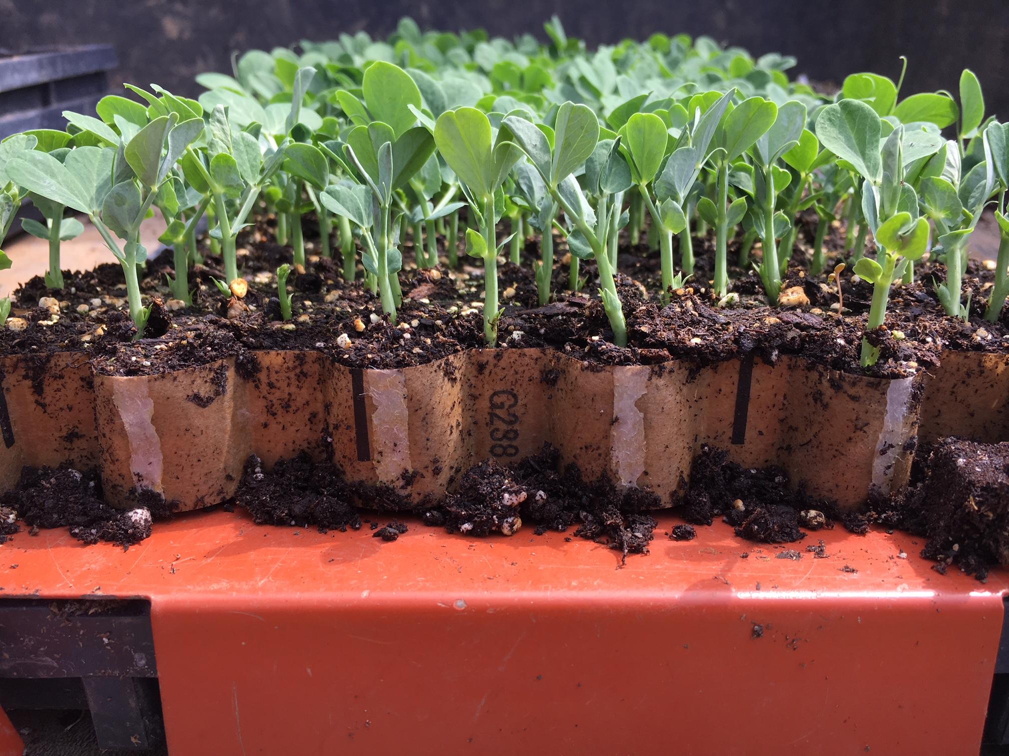 Paper Pot Transplanter Organic CNG
