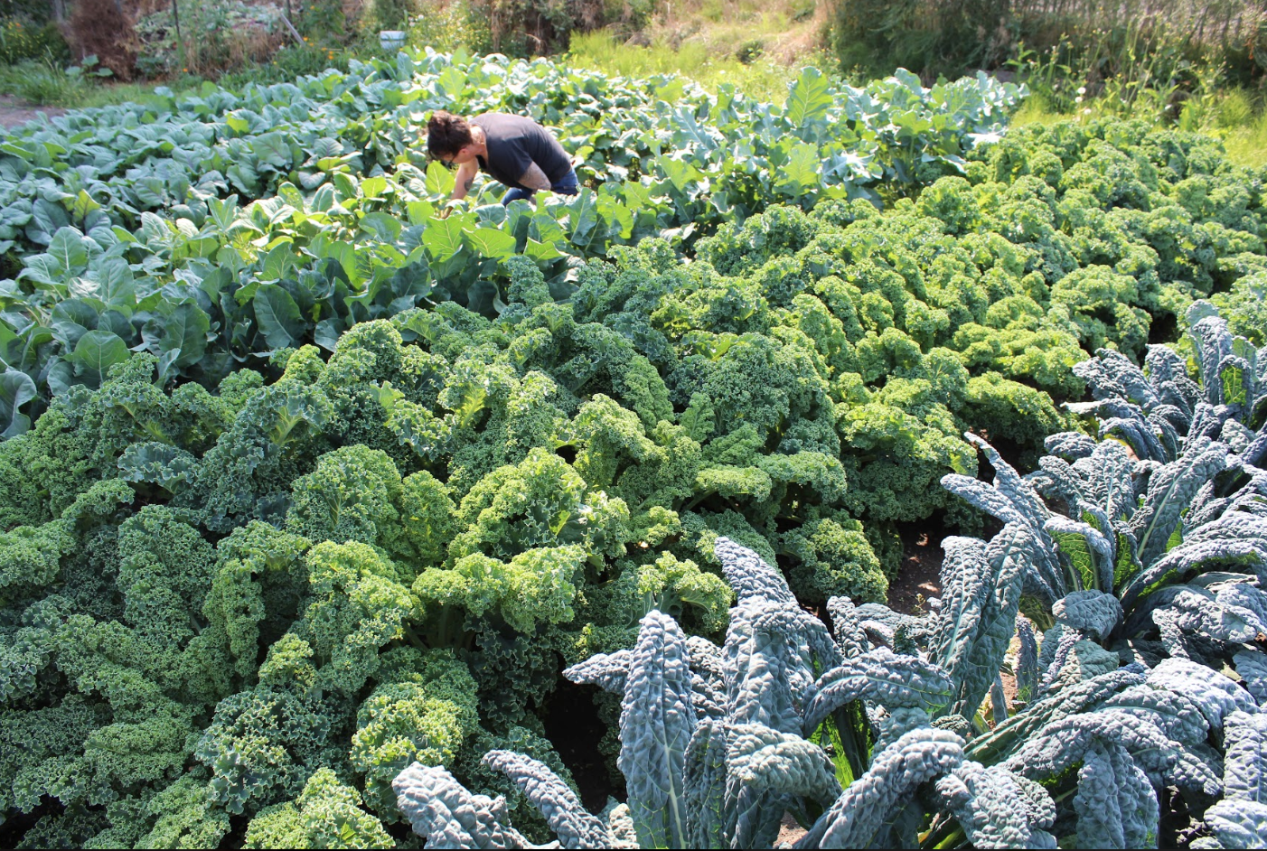 Organic Certified Naturally Grown Kale