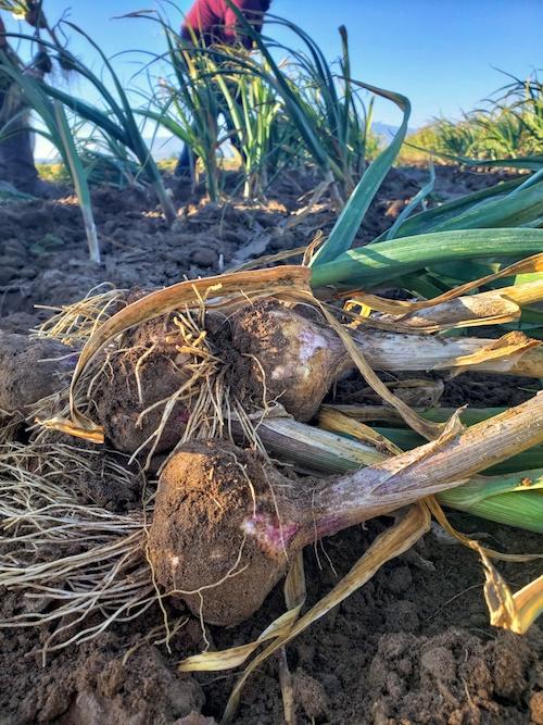 CNG garlic harvest