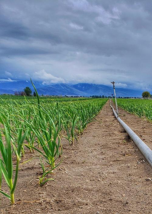 CNG garlic field