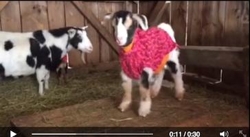 goats.54_AM_copy.png